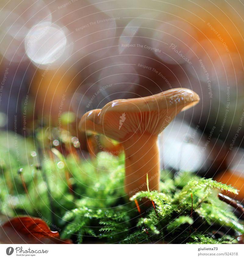 Zauberpilz Umwelt Natur Wassertropfen Sonnenlicht Herbst Klima Pflanze Grünpflanze Wildpflanze Moos Pilz Pilzhut Wald grün orange Glück Zufriedenheit Optimismus