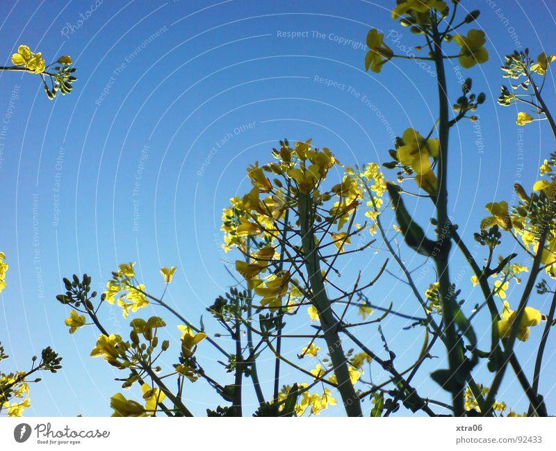 Rapsriesen 2 Rapsfeld gelb Froschperspektive Blüte Feld Sommer Umwelt Frühling Stengel Pflanze Erdöl Energiewirtschaft Blühend Bioprodukte