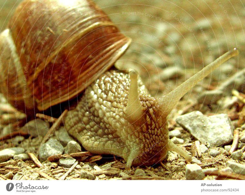 Weinbergschnecke *2 Landlungenschnecke Tier Haus Schneckenhaus schleimig Schleim Fühler krabbeln langsam Geschwindigkeit Spirale Blatt Gras zurückziehen