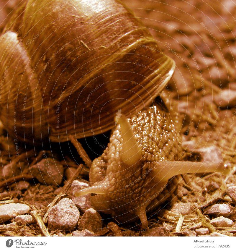 Weinbergschnecke *3 Landlungenschnecke Tier Haus Schneckenhaus schleimig Schleim Fühler krabbeln langsam Geschwindigkeit Spirale Blatt Gras zurückziehen