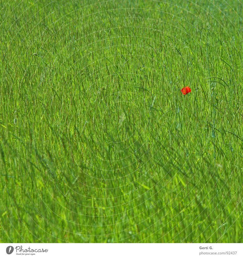 lonesome poppy Fleck Farbfleck Gras Wiese Feld Mohnfeld saftig grün grasgrün Mohnblüte rot Einsamkeit Blume verloren Farbe Blütenknospen mohnknospen saftiggrün