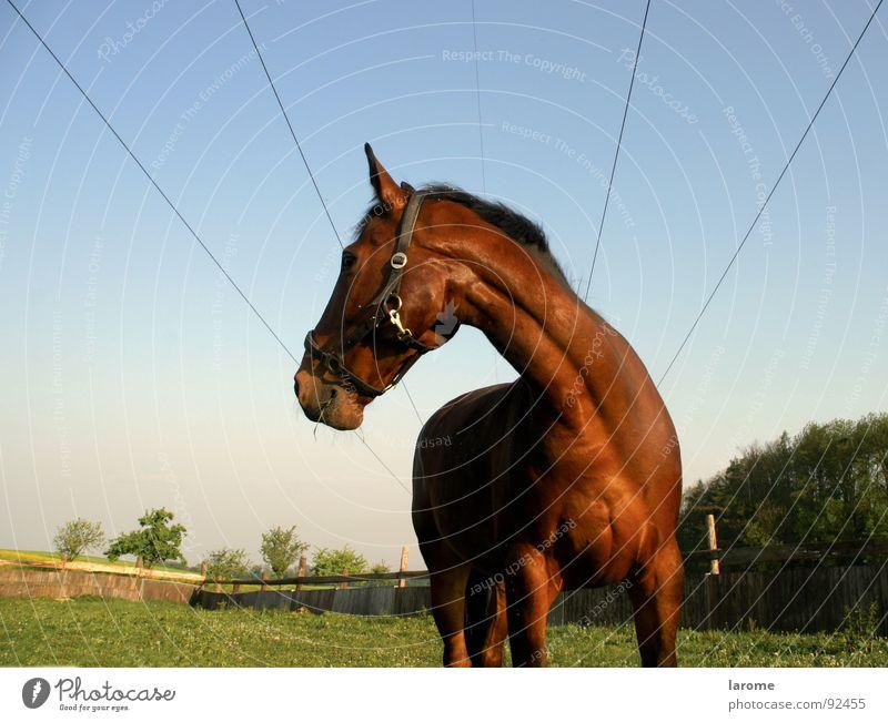 phönix 1 Natur Himmel Tier Ferne Wiese Gras Freiheit braun Pferd Kabel Bauernhof Landwirtschaft Weide Fressen Säugetier Nähgarn