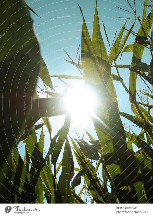 Ein Licht im Kornfeld Sonne grün Sommer Landwirtschaft Ernte Ackerbau saftig Mais sommerlich Maisfeld
