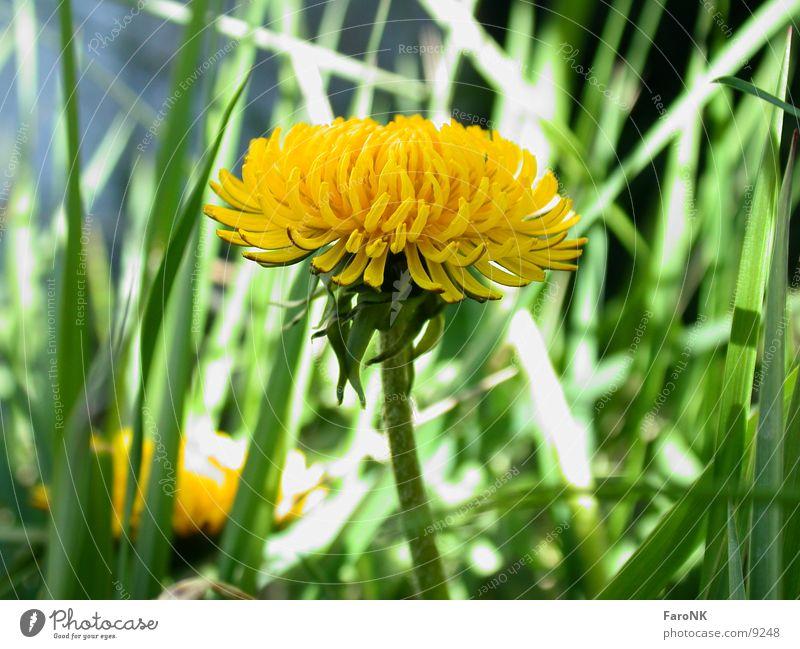 Löwenzahn Blume Blüte gelb