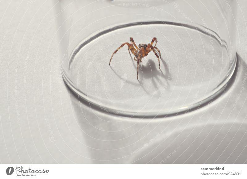 Ich glaub ich... Tier Wildtier Spinne 1 beobachten krabbeln weiß Arachnophobie Angst Platzangst gefangen Gefängnis Glas Spinnenbeine Monster Mut braun grau