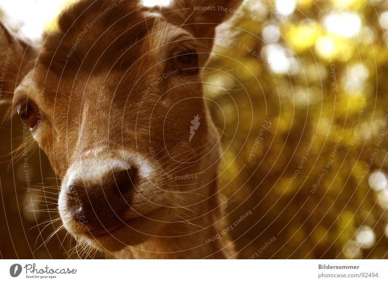Achtung Wild! Tier braun Wildtier Säugetier hart Hirsche Schnauze Reh Sepia