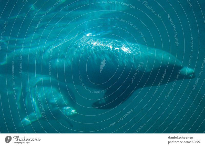Flipper lebt !! Delphine tauchen Unterwasseraufnahme zyan Meer Ferien & Urlaub & Reisen Australien Säugetier Wasser blau Schwimmen & Baden