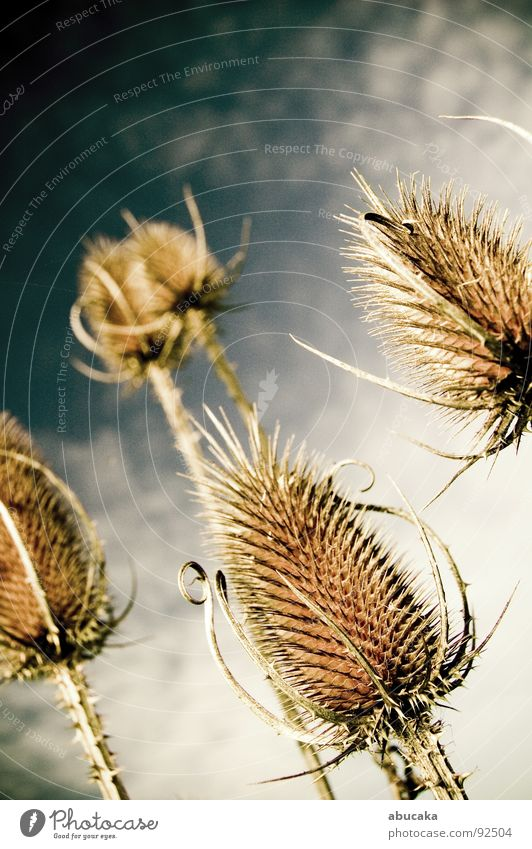 Needled Natur Himmel Pflanze Schmerz Stachel Dorn stechen Distel