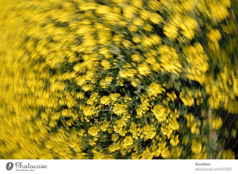 Gölb 3 Raps gelb Schwung Blume Biene Feld ökologisch Bewegung Pflanze Luftverkehr Bioprodukte