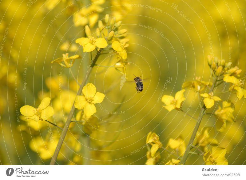 Gölb 4 möt Önsökt Raps gelb Blume Biene Feld ökologisch Pflanze Luftverkehr Bioprodukte