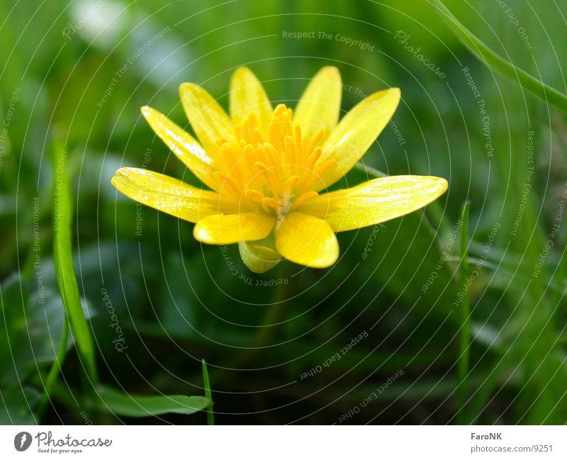 gelbeBlüte Blume Wiese