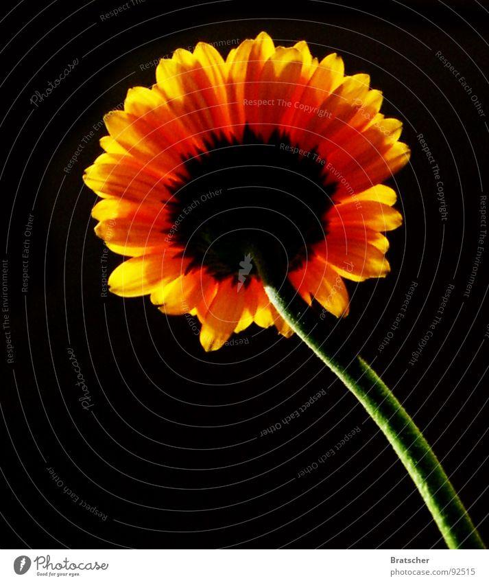 Abschied Blume Traurigkeit dunkel schwarz Hoffnung Trauer Tod Verzweiflung Vergänglichkeit Gerbera Sonnenblume Abendsonne vermissen weil er lacht weil er lebt