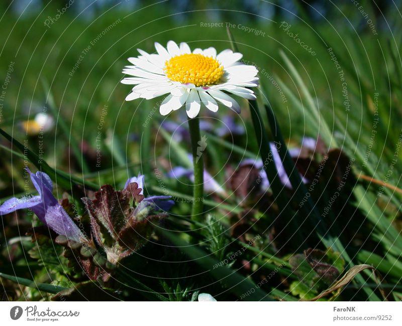 Gänseblume Blume Pflanze Blüte Gänseblümchen