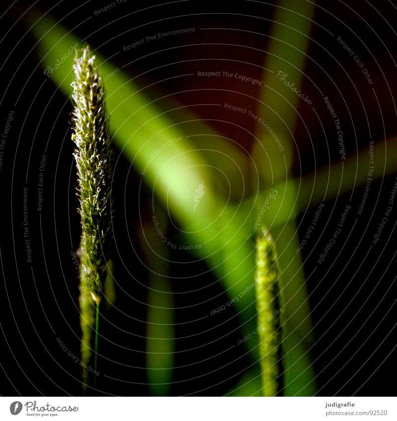 Gras grün schön Pflanze Sonne Sommer Wiese Gras glänzend weich zart Weide Stengel Halm sanft beweglich Pollen