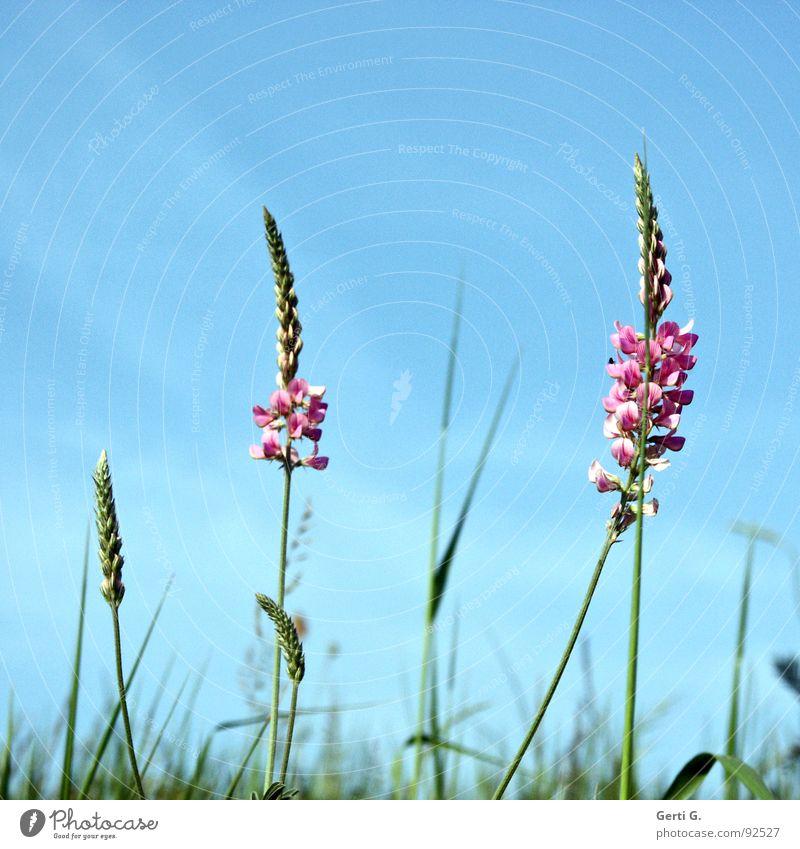 Onobrychis viciifolia Blume grün blau Pflanze Farbe Wiese Blüte Gras rosa Sträucher zart türkis Halm Blütenknospen Blumenwiese himmelblau