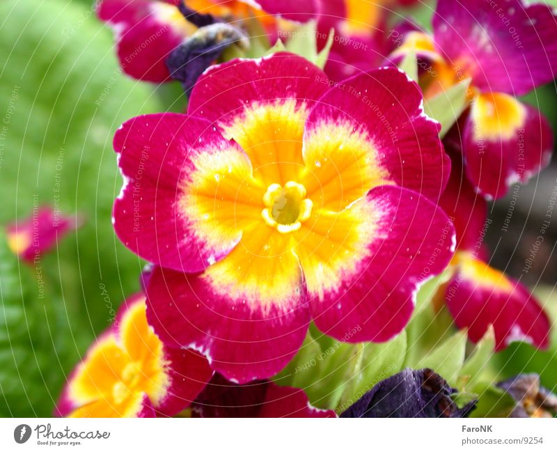 Primel Kissen-Primel Blüte Pflanze Blume
