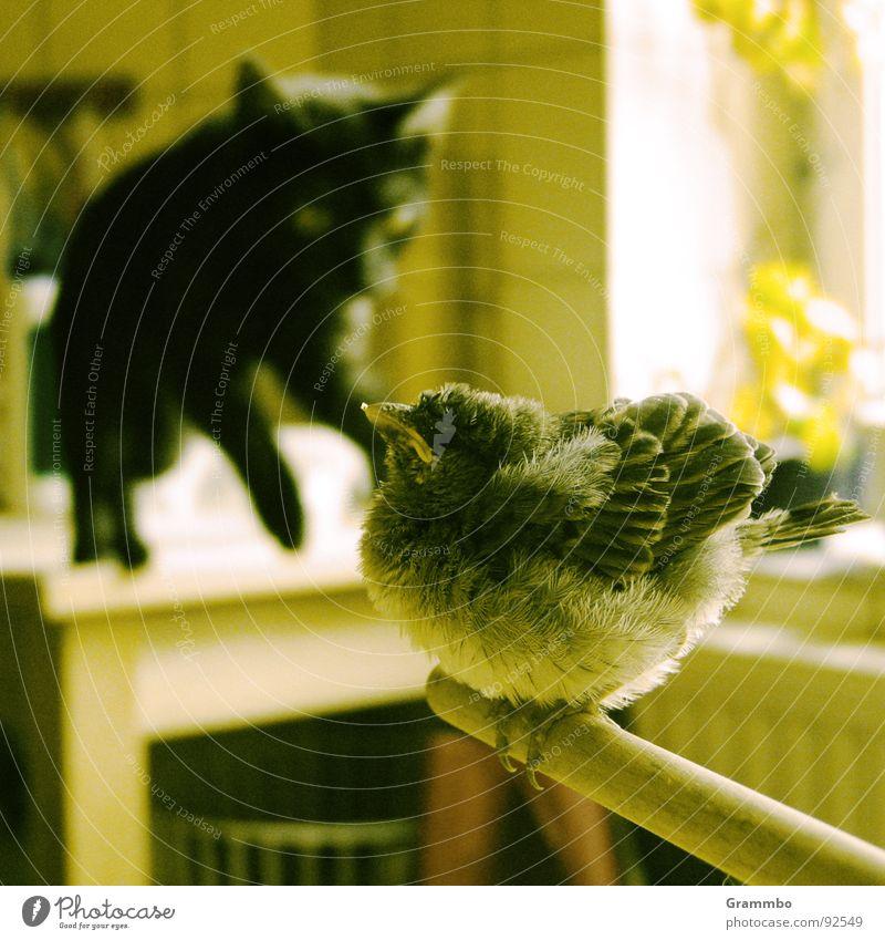 rechts is frei schwarz springen Katze Vogel Feder Jagd Mut dick Momentaufnahme Hauskatze Spatz Unbekümmertheit Angriff Beute provokant angriffslustig