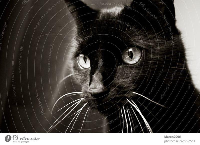 Sophi schön Freude schwarz Tier Auge Leben Spielen Katze lustig Elektrizität süß niedlich beobachten Konzentration Jagd