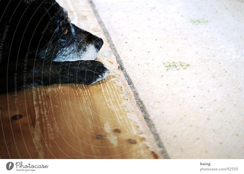 Dogs with Jobs träumen Traurigkeit Trauer Platz Boden Bodenbelag liegen Fell Hirte Wohnzimmer Verzweiflung Wachsamkeit Pfote Sitzgelegenheit Teppich Schnauze