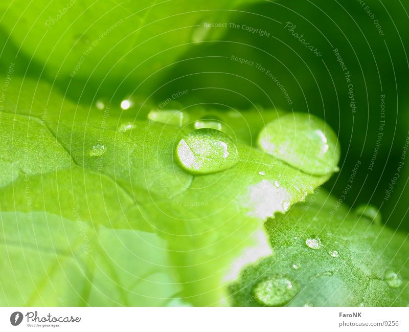 Wassertropfen grün Blatt