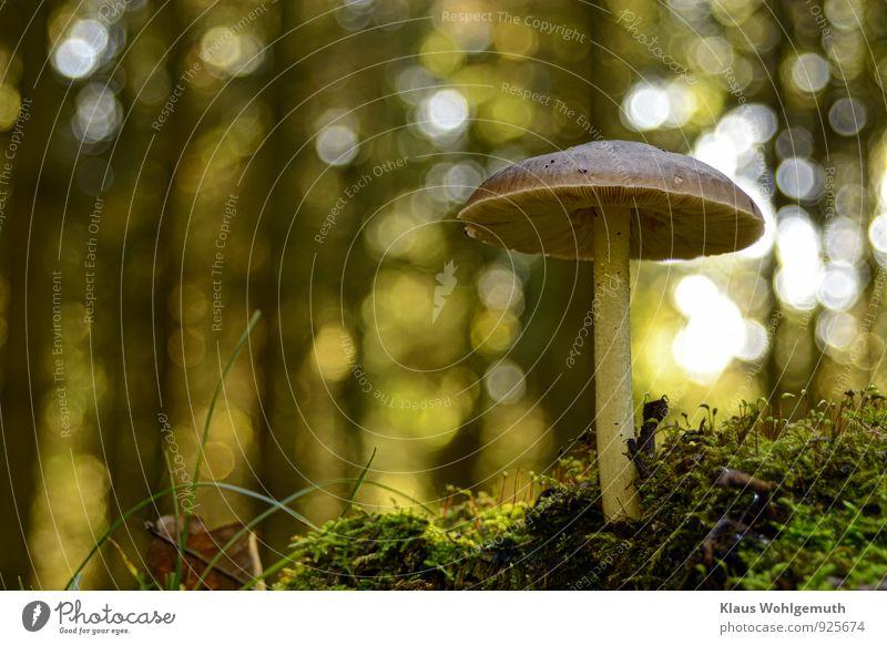 Schirmherr Umwelt Natur Pflanze Herbst Schönes Wetter Baum Moos Wald stehen schön nah braun gelb grün Lamelle Pilz Pilzhut Farbfoto Außenaufnahme Menschenleer