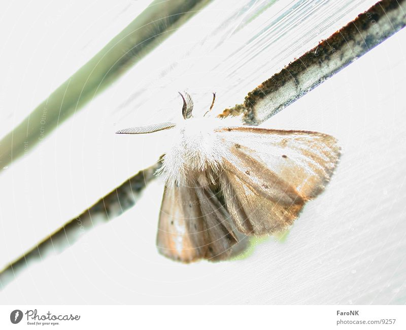 Nachtfalter Schmetterling Tier Insekt Verkehr Motte