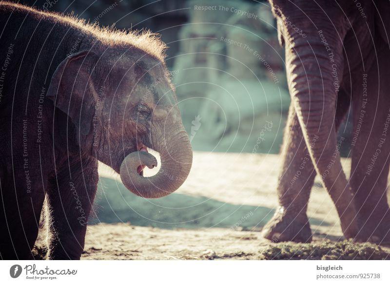 Elefantenbaby 2 Tier Tierjunges Fressen Spielen stehen klein niedlich braun grau grün Tierliebe Farbfoto Außenaufnahme Tag Tierporträt