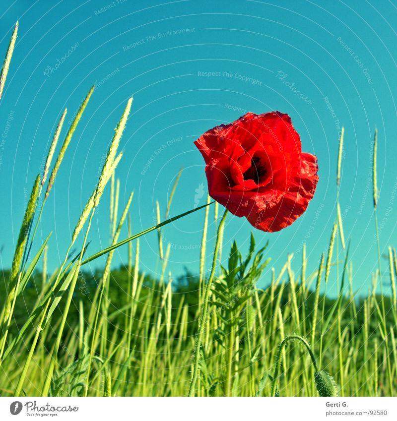 praktisch, quadratisch,*klatsch Blume Blüte Pflanze Klatschmohn Mohn rot Mohnblüte Mohnkapsel Sommer sommerlich Stimmung Blühend Frühling grün Stengel stachelig