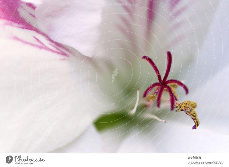 Schneeweiß Blüte Blume Blütenblatt Pollen Frühling Licht Park Pflanze filigran rot rosa gelb zart abstrakt Tiefenschärfe Unschärfe Offenblende Blütenkelch