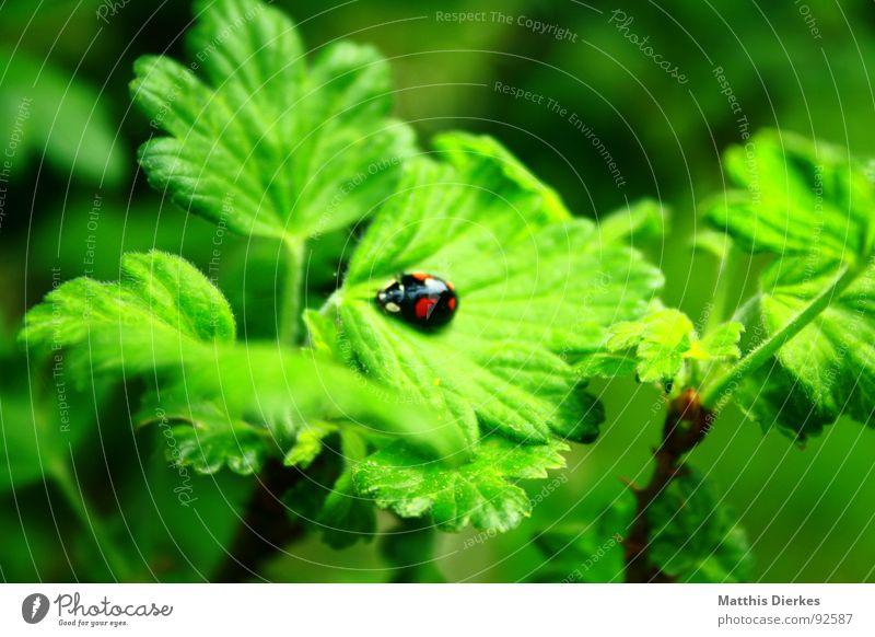 MARIENKÄFER Marienkäfer Insekt grün Tier klein Stengel Sträucher Baum Wachstum Umwelt Sommer Garten fliegen Flügel Käfer Natur