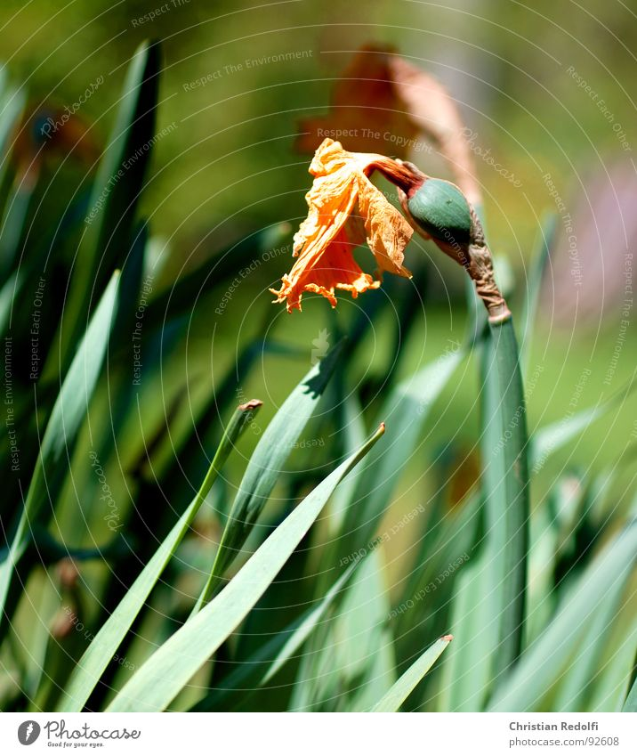 Alles ist vergänglich Tod Blüte Trauer Stempel verblüht getrocknet Narzissen