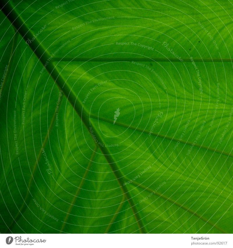 """einfach nur """"GRÜN"""" Botanik grün Blatt Faser Gitter Streifen parallel Muster Gefäße gemalt Garten Park Umwelt Zimmerpflanzen Strukturen & Formen Ast Farbe"""