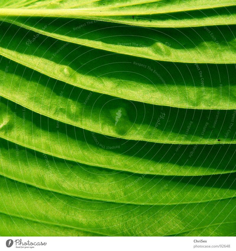 Blattschatten in Grün Natur grün Pflanze Tier Frühling Garten Park Stauden Hosta