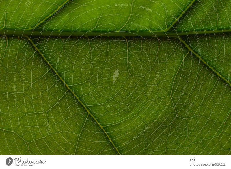 Das Blatt 9 Pflanze grün Botanik Pflanzenteile Kletterpflanzen pflanzlich Umwelt Sträucher Gegenlicht Hintergrundbild Baum nah Photosynthese reif Gefäße