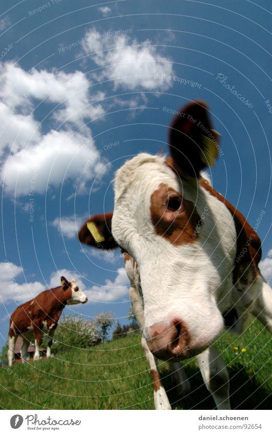 guckst du ?? Himmel blau grün Ferien & Urlaub & Reisen Blume Sommer Wolken gelb Wiese Umwelt Gras Wärme Frühling Perspektive Landwirtschaft Kuh