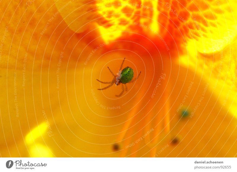 spiderman (der Echte) abstrakt Blume Blüte Frühling Sommer grün gelb rot mehrfarbig Spinne Makroaufnahme Nahaufnahme Detailaufnahme orange