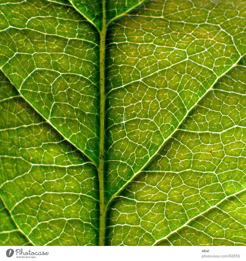 Das Blatt 10 Natur Baum grün Pflanze Blatt Leben Kraft Hintergrundbild Umwelt geschlossen Sträucher nah Ast Apfel Landwirtschaft reif