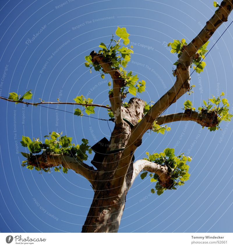 Rinascimento Himmel blau grün Baum Sommer Freude Blatt Frühling Garten Park braun Elektrizität Wachstum weich Ast Baumstamm