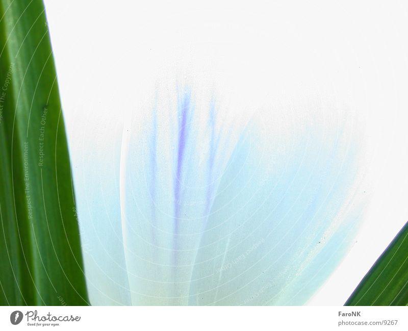 Frühling Blume Blüte weiß grün Makroaufnahme Nahaufnahme