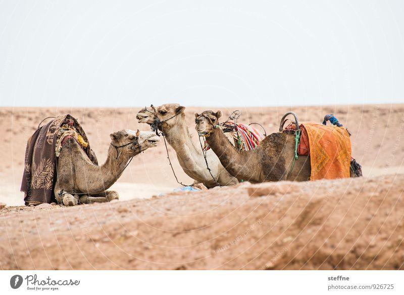 Around the World: Ait Ben Haddou Wärme Sand Wüste heiß Afrika Dürre Arabien Kamel Marokko Dromedar