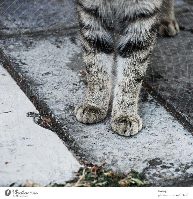 miau Katze grau Fell Pfote Tierfuß Platz Haustier Schüchternheit Säugetier Wissenschaften Vertrauen Sitzgelegenheit bei Fuß getigert Anschnitt