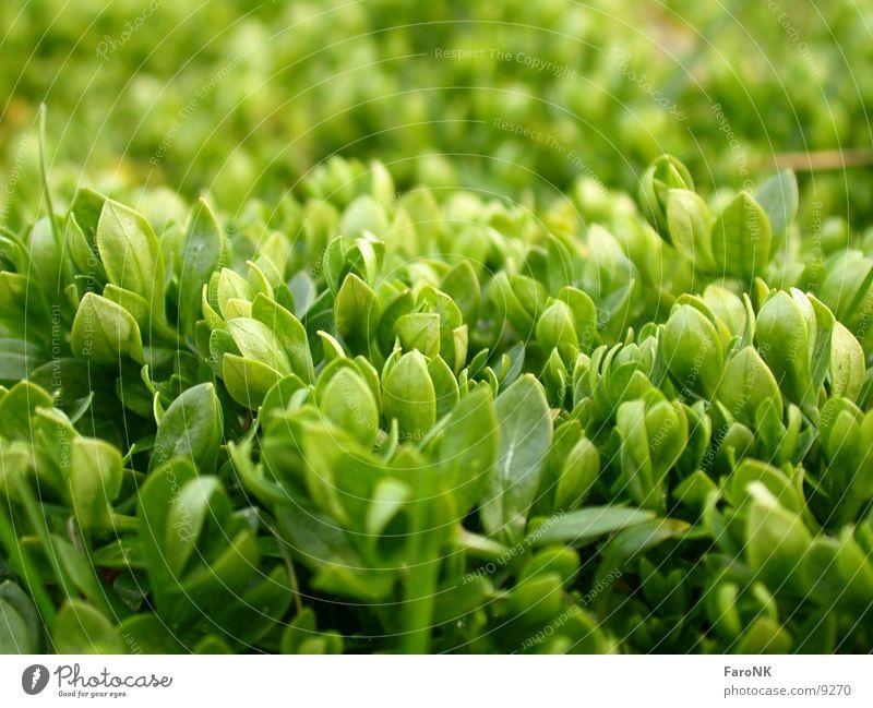 frischesGrün grün Blatt Pflanze