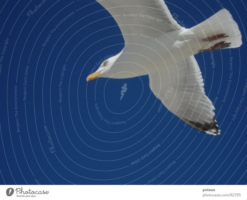 Möwe Schnabel Vogel Himmel blau Luftverkehr Flügel Feder