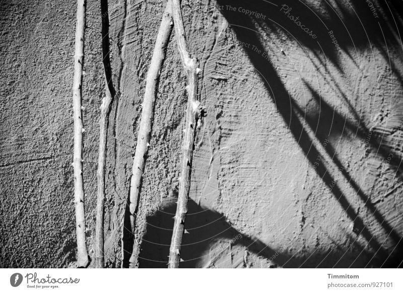 Dornen ohne Rosen. Pflanze schwarz Wand Gefühle Mauer grau Linie wandern ästhetisch einfach Rose trocken Putz hart Dorn