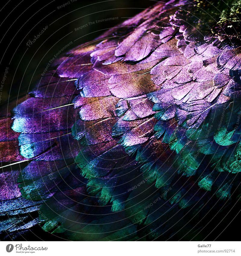 Spektralkleid schön Tier Farbe Glück Vogel glänzend Feder Regenbogen Haushuhn Nepal spektral prächtig Himalaya Fasan Ziervogel