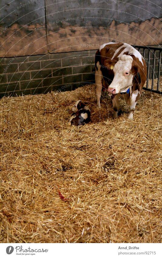 Kuh und Kalb Tier Bauernhof Kuh Säugetier Stroh Stall Kalb Landwirtschaft
