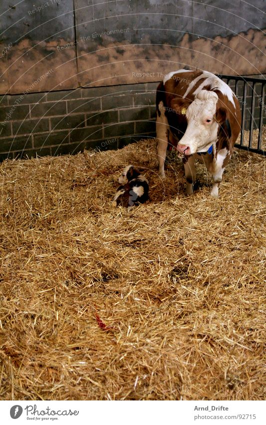 Kuh und Kalb Tier Bauernhof Säugetier Stroh Stall Landwirtschaft