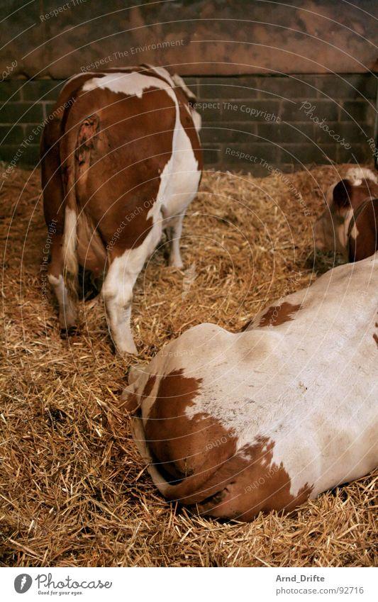 Kuhhintern Tier Hinterteil Bauernhof Kuh Säugetier Stroh Stall
