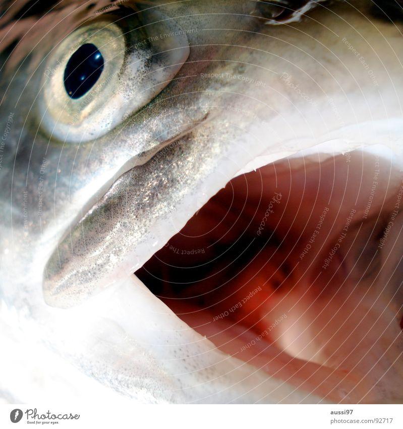Roy Scheider Gedenkfisch Wasser Angst gefährlich Ernährung Fisch bedrohlich Filmindustrie Mahlzeit Panik Schwimmhilfe Maul beißen Tier Forelle Kochen & Garen & Backen Kieme