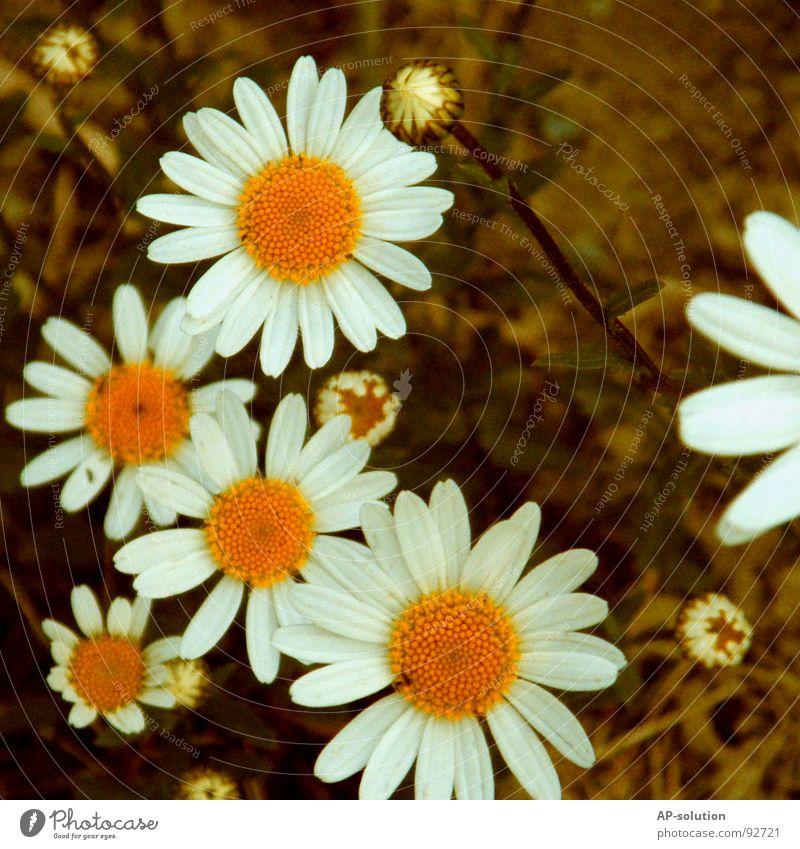 Margeriten-Familie Gänseblümchen Blumenwiese Blühend Pflanze Blüte Wachstum Makroaufnahme bestäuben Frühling Sommer grün Blumenstrauß Biene Frühlingsgefühle